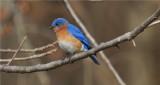 Eastern Bluebird - Male (Sialia sialis)