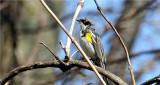Yellow-rumped Warbler (aka Myrtle Warbler)