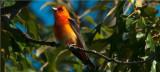Scarlet Tanager Male - Orange Variant