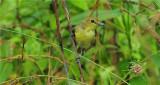 Orchard Oriole - Female