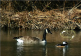 Hooded Merganser and Canada Goose