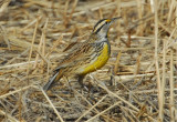 Eastern Meadowlark (Sturnella magna)