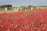 Crimson Clover field in early morning sunlight