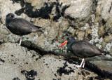 Oyster Catchers in Pacific Grove (CA)