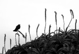 Song of the Red Winged Blackbird