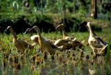 Ducks on a Rice Terrace