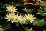 Four Water Lillies