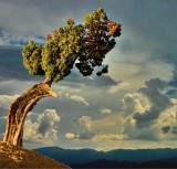Juniper pine