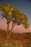Joshua Tree atDusk