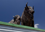 American Bison on a Roof