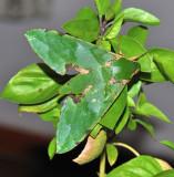 Cosmopolitan Hawk Moth - Euchloron megaera