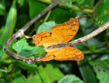 Club Tailed Charaxes Charexes zoolina zoolina.