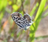 Dotted Blue  - Tarucus sybaris