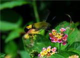 Common bee hawk moth - Cephonodes hylas virescens  - Beira MozambiqueDSC_0474.JPG