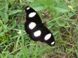 Common Diadem - Hypolimnas misippus - Beira MozambiqueP1340862.JPG