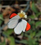 Common Orange Tip - Colotis evenina evenina - Gorongosa Mozambique  DSC_4169.JPG