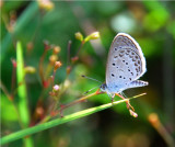 Gaika Blue - Zizula hylax - Beira MozambiqueDSC_0504.JPG