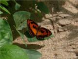 Common Joker - Byblia anvatara acheloia - Rio Savane Mozambique P1350392.JPG