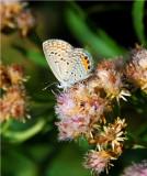 Grass Jewel Blue - Chilades trochylus - Beira Mozambique - DSC_0495.JPG