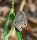 Common Smoky Blue - Euchrysops malathana - Mafambice Mozambique  DSC_7137 .JPG