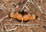 Natal Acraea - Acraea natalica - Catapu Mozambique  DSC_6609.JPG