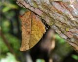 Pearl Emperor - Charaxes varanes varanes - Mafambice Mozambique  DSC_7138.JPG