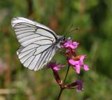 Vitfjärilar (Pieridae)
