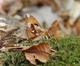 Nattfjärilar m.fl.