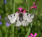 Fjärilar / Butterflies