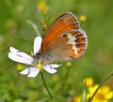 Praktfjärilar (Nymphalidae): Gräsfjärilar
