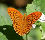 Praktfjärilar (Nymphalidae): Pärlemorfjärilar och nätfjärilar