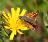 Tjockhuvudfjärilar (Hesperiidae)