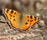Praktfjärilar (Nymphalidae): Vinterpraktfjärilar