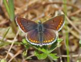 Juvelvingar (Lycaenidae)