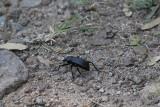 dung beetle_4923.JPG