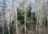 more winter alders