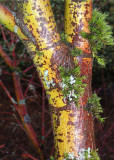 29 Coral Bark Maple