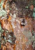 30 Pine with Lichen