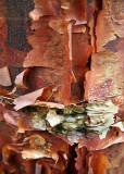 31 Paper Bark Maple 3