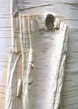 36 birch bark
