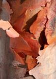 41 paper bark maple 4