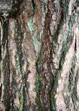 43 pine with lichen 2