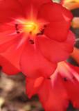 34 r. brookeanum