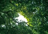 Sky Through Chestnut Leaves