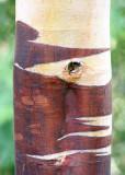 46 chinese red birch
