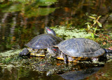Snake Lake Turtles 2