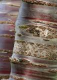 47 birch bark cherry