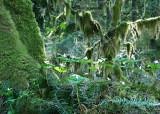 3 Rainforest Trillium