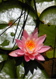 28 pink lily, sunny leaf