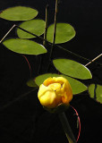3 yellow pond lily